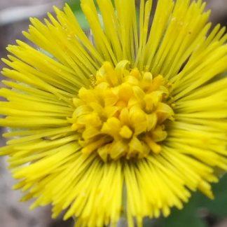 Blütenessenz HUFLATTICH (Tussilago farfara)