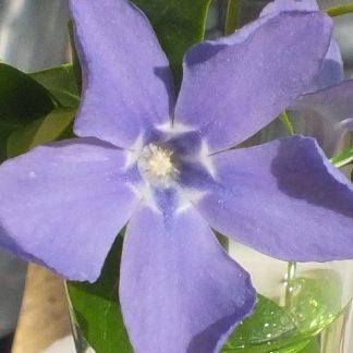 Blütenessenz IMMERGRÜN (Vinca minor)