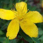 Blütenessenz JOHANNISKRAUT (Hypericum perforatum)