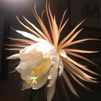 Blütenessenz KÖNIGIN DER NACHT (Selenicereus grandiflorus)