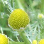 Blütenessenz STRAHLENLOSE KAMILLE (Matricaria discoidea)