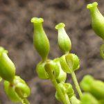 Blütenessenz KANNENBLUME (Nepenphaceae)