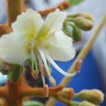 Blütenessenz WEISSE KASTANIE (Aesculus hippocastanum)