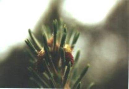 Blütenessenz KIEFER (Pinus sylvestris)
