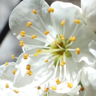 Blütenessenz KIRSCHPFLAUME (Prunus cerasifera)