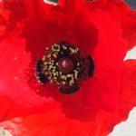 Blütenessenz KLATSCHMOHN (Papaver rhoeas)