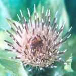 Blütenessenz KOHLDISTEL (Cirsium oleraceum)