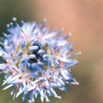Blütenessenz KUGELBLUME (Globuleria punctata)