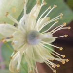 Blütenessenz LINDE (Tilia cordata)