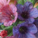 Blütenessenz LUNGENKRAUT (Pulmonaria officinalis)
