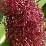 Blütenessenz MAIS (Zea mays)