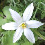 Blütenessenz DOLDIGER MILCHSTERN (Ornithogalum umbellatum)