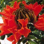 Blütenessenz AFRIKANISCHER TULPENBAUM