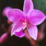 Blütenessenz DSCHUNGELORCHIDEE (Spathoglottis plicata)