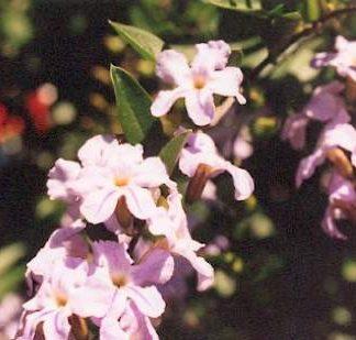 Blütenessenz DURANTE (Durante erecta)