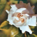 Blütenessenz GARDENIE (Gardenia florida)