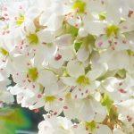 Blütenessenz Buchweizen (Fagopyrum esculentum) - Forschungsessenz