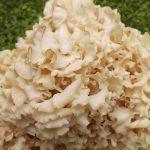 Blütenessenz KRAUSE GLUCKE (Sparassis crispa)