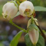 Blütenessenz HEIDELBEERE (Vaccinium myrtillus)