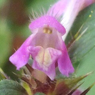 Blütenessenz STECHENDER HOHLZAHN (Galeopsis tetrahit)