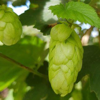 Blütenessenz HOPFEN (Humulus lupulus)