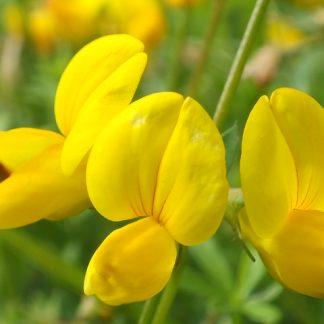 Blütenessenz HORNKLEE (Lotus campylocladus)
