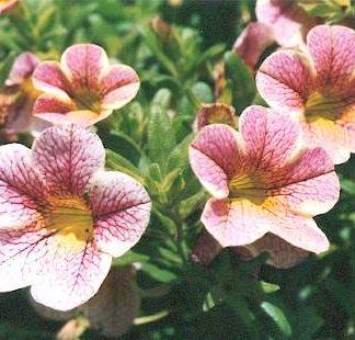 Blütenessenz KLEINBLÜTIGE PETUNIE (Petunia hybrida)