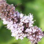 Blütenessenz PFEFFERMINZE (Mentha piperita)