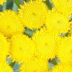 Blütenessenz RAINFARN (Tanacetum vulgare)