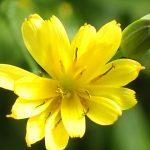 Blütenessenz RAINKOHL (Lapsana communis)