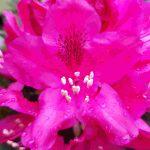 Blütenessenz RHODODENDRON (Rhododendron hybride)