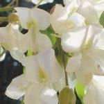 Blütenessenz ROBINIE (Robinia pseudoacacia)