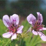 Blütenessenz ROSENGERANIE (Pelargonium Radula)