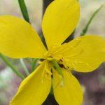 Blütenessenz SCHÖLLKRAUT (Chelidonium majus)