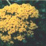Blütenessenz GELBE SCHAFGARBE (Achillea filipendu)