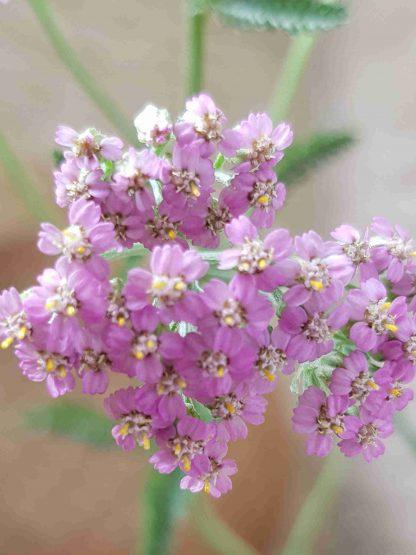 Blütenessenz ROSA SCHAFGARBE (Achillea millefolium)