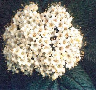 Blütenessenz WOLLIGER SCHNEEBALL (Viburnum lantana)