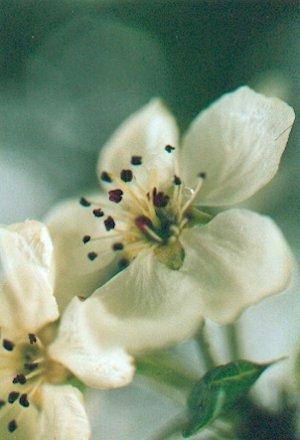 Blütenessenz SCHNEEBIRNE (Prunus nivalis)