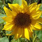 Blütenessenz SONNENBLUME (Helianthus annus)