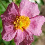 Blütenessenz SONNENRÖSCHEN (Helianthemum nummularium)