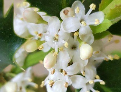 Blütenessenz STECHPALME (Ilex aquifolium)
