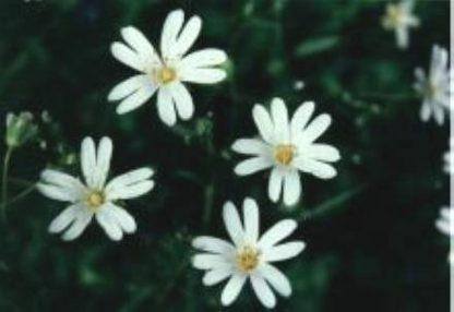 Blütenessenz STERNMIERE (Stellaria holostea)