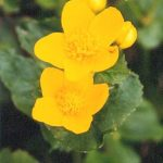 Blütenessenz SUMPFDOTTERBLUME (Caltha palustris)