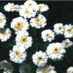 Blütenessenz SUMPFSCHAFGARBE (Achillea ptarmica)
