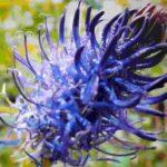 Blütenessenz SCHWARZE TEUFELSKRALLE (Phyteuma nigrum)