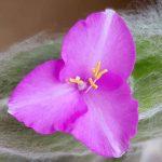 Blütenessenz TRADESKANTIE (Tradescanzia andersoniana)