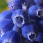 Blütenessenz TRAUBENHYAZINTHE (Muscari stovitsianum)