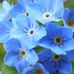 Blütenessenz VERGISSMEINNICHT (Myosotis scorpioides)