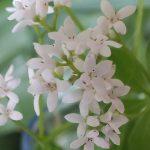 Blütenessenz WALDMEISTER (Galium odoratum)