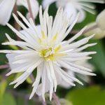 Blütenessenz WALDREBE (Clematis vitalba)